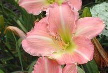 F: Plant fav. - Hemerocallis / Daylilies