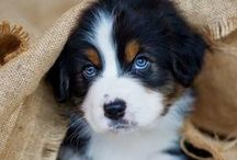"""Animals  - Dogs / Hundar / Vilken hund ska vi nu välja?...... Which dog should we choose? ...... A Bernese Mountain Dog again... or....?                    Also see my boards: """"Birds"""" and  """"Creatures in water & on land""""....."""