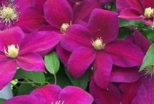 F: Plant fav. - Clematis