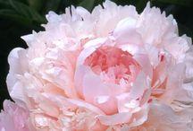 PEONIE / il fiore che amo