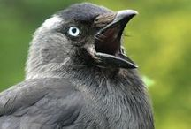 Daws + crows + ravens