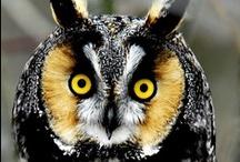 Hoot Owls / owl / by Deb German