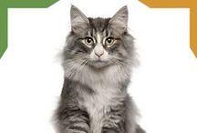 Razas de gatos / Descripciones de las diferentes razas de gatos.