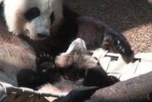 Panda video / Panda video