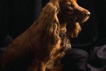 Dogs/Hunde / Især Cocker Spaniels &  Gravhunde.  Alle slags...