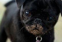 Black Pugs / Pugs