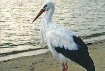 storks, mouette