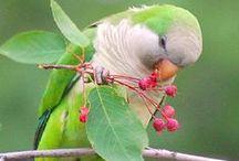 Papugi, Kanarki
