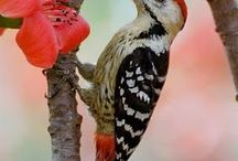 """Flicker / """"Flicker (woodpecker) is the animal totem associated with the Strong Sun Moon. Woodpecker can teach you about communicating, music, joy, nurturing, courage, protection, tenacity, and your connection with the universal."""" ~ Sun Bear"""