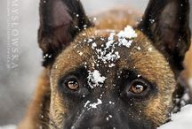 """Malinois / """"Heritage of love...Noble of heart...Gentle of spirit...Regal of stature...I shall grow to be your faithful companion...your ardent defender...your best friend."""""""
