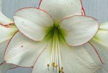 I nostri venatori per fiori / Venatori e stampi per fiori di porcellana fredda e flower paste o sugar art / by Italiansugarart.it