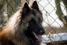 Belgian Tervuren / Very bright - Independent - Playful - Domineering - Hard to Train - Agressive - Friendly