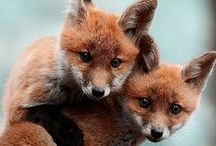 Foxes / Foxes are an amazing animal, and an animal we're proud to be named after.