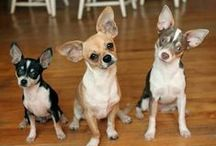 Crazy Chihuahua Love / Love, love, love my Chihuahua babies!  Daphne, Dawson, Sophie, and 'lil Bandit too! / by Heather McClanahan