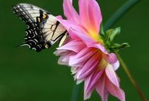 Hover! Flutter! Buzz! Pollinator-Friendly Gardens /  Nourish and nurture bees, butterflies, hummingbirds and more with the right flowers, herbs, shrubs, vines and trees.