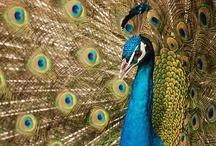 Peacocks / by Renita Odstrcil