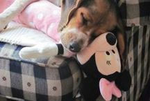 BEAGLES! / I have 4 beagles. Daisy ,Maddie Gracie and Rosie. Their pictures are on my board. They are my girls. They make me smile everyday. I love beagles<3 / by jane