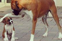 Boxer dogs / Só quem tem um bobão desses sabe do que estou falando.<3