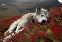 Animals : : Wolves