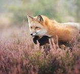 Fox dance Rókatánc