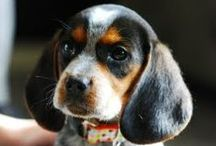 For the Hound / Proud mom of one spoiled Bluetick Coonhound.