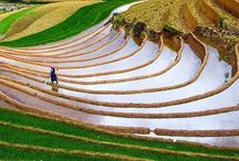 Rice and tea terraces