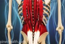 Spinal Anatomy / The spinal column is a complex, intricate construct that includes a variety of nerves, bones, joints, tendons, ligaments, and muscles woven together. The spine is designed to be remarkably strong, with a great deal of flexibility in the lower back and neck.