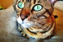 My Bengals & Other Cats / Bengals & other Cats