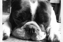 french bulldogs <3