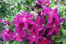 Clematis New improved varieties / Fine New Plant Introductions from breeders around world