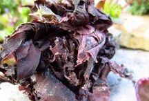 Meeresalgen / Meeresgemüse-Rezepte und Meer // Sea veg recipies and more