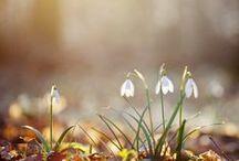 Snowdrops...Spring Snowflakes