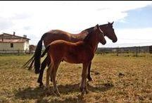 Cavalls / Horses