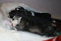 Husky / My pets