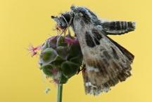 Butterflies - Skippers - Dikkopjes / Butterfly photography skippers - vlinderfotografie dikkopjes