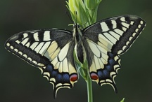 Butterflies - Swallowtails - Pages / Butterfly photography swallowtails - vlinderfotografie grote pages