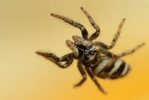 Spiders - Jumping Spiders - Springspinnen