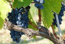 Il nostro vigneto / Luci e colori dei nostri vitigni: Sangiovese, Albana, Bombino Bianco, Trebbiano, Lambrusco, Barbera, Montepulciano, Merlot