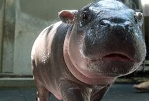 Hippopotamus❤️ / Hippopotamuses are the most beautiful animals after my Chloe..