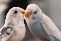 Kuşlar ve Muhabbet kuşları