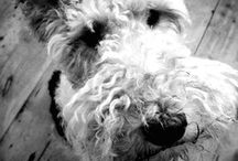 Fox Terriers / Basil and others