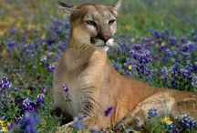 Cat of Many Names / Cougar, Puma, Mountain Lion...Please keep pins board related. Duplicates or inappropriate pins will be deleted without question or notification which could result in repeat offenders being blocked from the board. Please, don't let this happen...