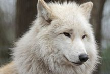 Big Bad & White Wolf / Everything white wolves