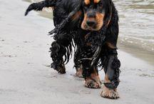 Louis Votten - english cocker spaniel / My beautiful dog Merry cocktails Warrant - aka Louis Votten. He is a black & tan english cocker spaniel.