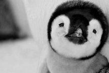 :: Pinguoin