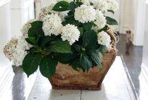 For the Love of Hydrangeas / by Gabriela Ferreira