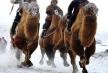 China North ( Board 1 b ) : Inner Mongolia ; HOHHOT , It's one of the 6 province in North China region . / Bordered to Rep Mongolia, Russia, China in the south.Hohhot its capital,site of Gengish Khan monument,palaces,temples,museums,mosque,and University of Inner Mongolia.Their traditional sports are Horse riding, Archery,Wrestling,typical Mongol Nomads.Ordos,a modern Ghost town.Population is 24,706,321 est. / by Lindawati Santosa