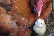 Animals - Love Chickens