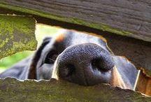 Doggies! / Weimaraners, Frechies, and Pugs