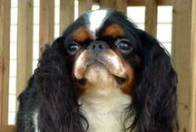 English Toy Spaniel's / by Debbie Miller Smith